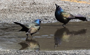 Common Grackles bathing