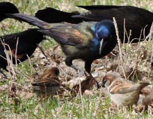 Common Grackle with sparrows, blackbirds, starlings