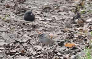 American Tree Sparrow and Dark-eyed Junco